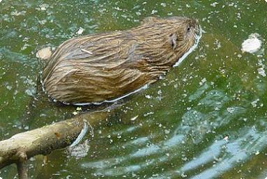 beaver or muskrat in canal