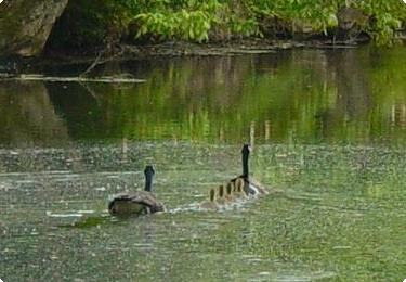 goose and goslings family - Spring 2004